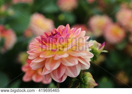 Pink, Yellow And White Fresh Dahlia Flower Close-up