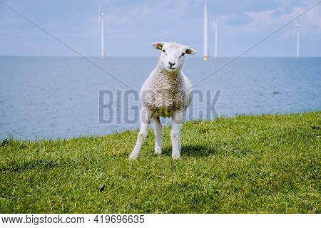 Lambs And Sheep On The Dutch Dike By The Lake Ijsselmeer, Spring Views, Netherlands Sheeps In A Mead