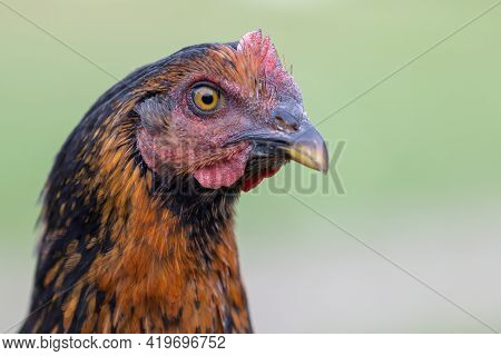 Close Up Portrait Of Fowl With Nice Big Beak On The Blur Green Background