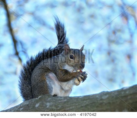 Squirrel With A Peanut Shell