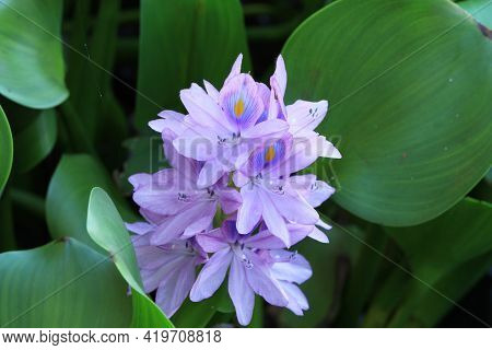 Water Hyacinth Flower (eichhornia Crassipes) In The Canal