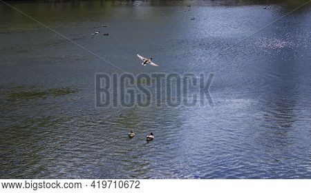 Small Wild Ducks In Spring Or Summer In Nature, Beautiful Wild Ducks In Nature In The Lake, Wild Nat