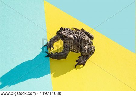Large Common Water Toad On A Colored Paper Background Side View. A Freshwater Animal Of The Amphibia