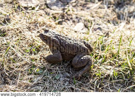 A Large Freshwater Water Toad Sits On The Grass. A Freshwater Animal Of The Amphibian Type.