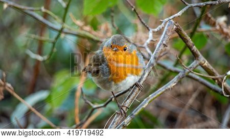 European Robin Red Breast Bird Sitting Perched In A Tree In A Woodland