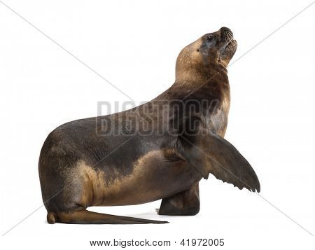 California Sea Lion, 17 years old, giving its paw against white background