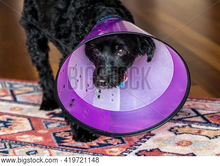Front View Of A Sad Black Poodle Terrier Or Yorkiepoo In A Double Protective Plastic Neck Recovery C
