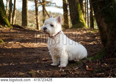 A White West Highland Terrier Dog Sitting Beside A Tree In A Woodland In Scotland