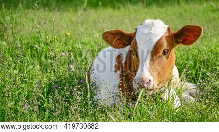Young White And Red Color Cow, A Calf In The Green Grass In A Meadow. Cattle Grazing, Young Cattle.