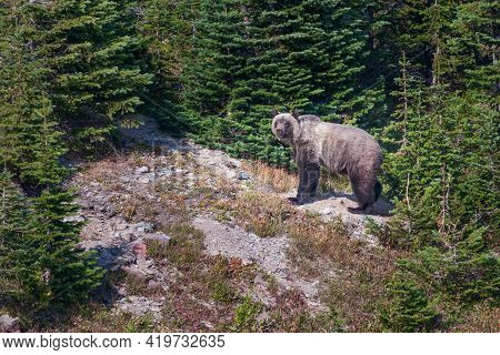 Grizzly Bear Wandering Through Trees In The Glacier National Park, Montana, Usa. Beautiful Ursus Arc