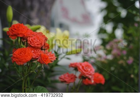 Bush Of Tender Red Rose On A Green Background. Red Roses In The Sun, Blooming Roses In The Park, For