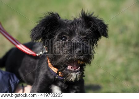 Black Dog. Small Black Puppy. Eating Bread, Open Mouth. Portrait, Head Close-up. Beautiful Dog, Pets