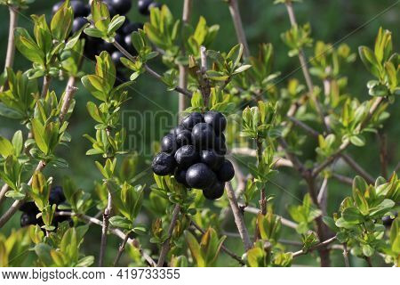 Black Berries On The Branches Of Spring Bushes With Young Leaves. Bushes In The Spring Garden. A Wal
