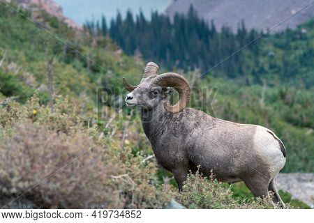 Bighorn Sheep In Glacier National Park, Montana, Usa. Majestic Ovis Canadensis Male In Its Natural H