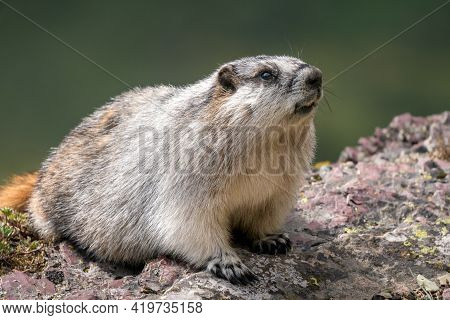 Closeup Of A Cute Yellow-bellied Marmot Sitting On A Grey And Purple Rock. Marmota Flaviventris In I