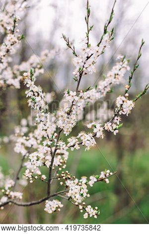 Branches Of A Blossoming Tree On A Garden Background. Spring Blossom. Selective Focus.