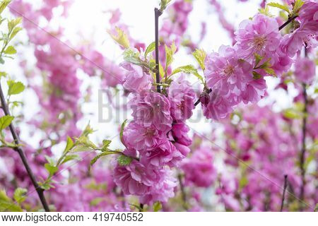 Pink Flowers Of Almond Bush Close Up In Sunlight