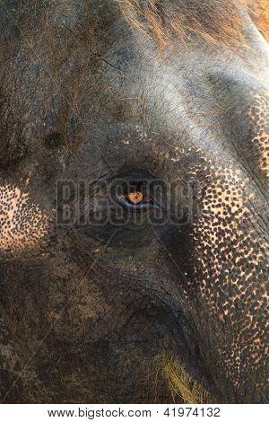 asia elephant head close up poster