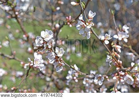 Beautiful White Cherry Blossoms In The Garden In The Afternoon Close-up
