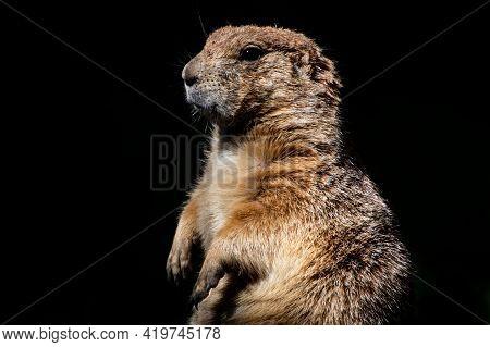 Prairie Dog - Groundhog Portrait Black Background Posing