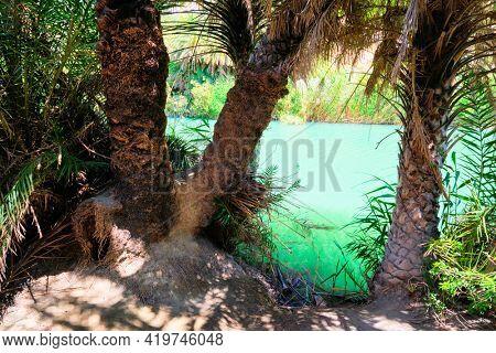 Palm tree forest of Cretan date palm Phoenix theophrastii and Megalopotamos river of Preveli, Crete island, Greece. Tracking shot