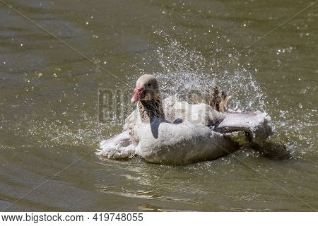 The American Buff Goose Is A Breed Of Domestic Goose Native To The United States