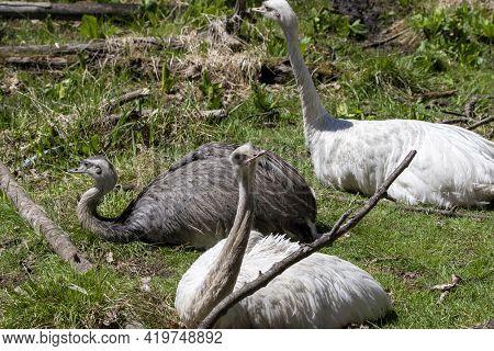 The Greater Or American Rhea (rhea Americana), Native To South America. Natural And Leucistic Birds.