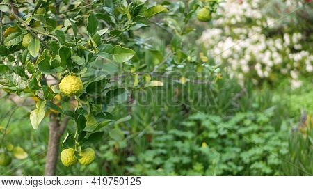 Bergamot Citrus On Tree, California Usa. Orange And Lemon Hybrid In Spring Morning Garden, Homegrown