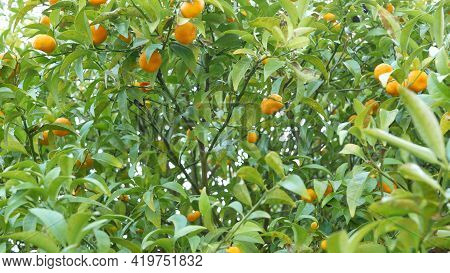 Citrus Orange Mandarin Fruit Tree, California Usa. Spring Garden, American Local Agricultural Farm P