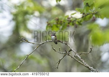 A Male Calliope Hummingbird Perching On The Branch.   Vancouver Bc Canada