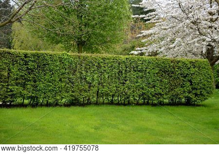 Hornbeam Green Hedge In Spring Lush Leaves Let In Light Trunks And Larger Branches Can Be Seen Natur