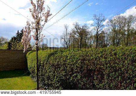 Green Hedge Trimmed In  Garden Lawn Moving Row Trees Wall Tree Trunk
