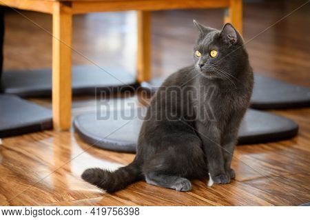 A Black Cat In Cat Cafe. Cat Cafe Is A Theme Cafe Whose Attraction Is Cats That Can Be Watched And P