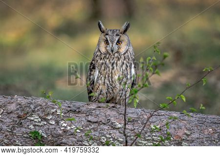 A Portrait Of A Long-eared Owl, Asio Otus, Also Known As The Northern Long-eared Owl, The Lesser Hor