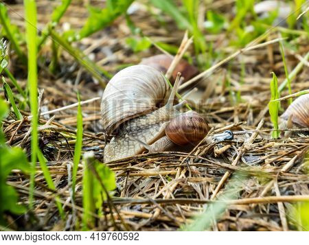 Adult And Young Roman Snail Or Burgundy Snail (helix Pomatia) Together On The Ground In Summer In Dr