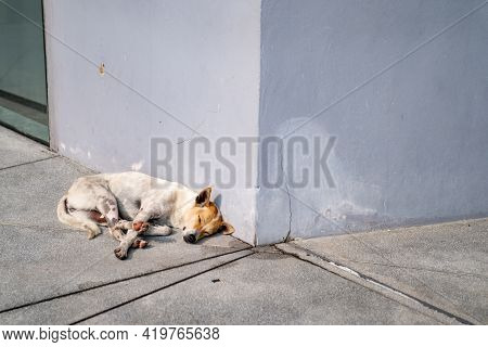 Sleeping Brown - White Thai Hybrid Dog At The Corner Of The Building In The Afternoon Sunshine.