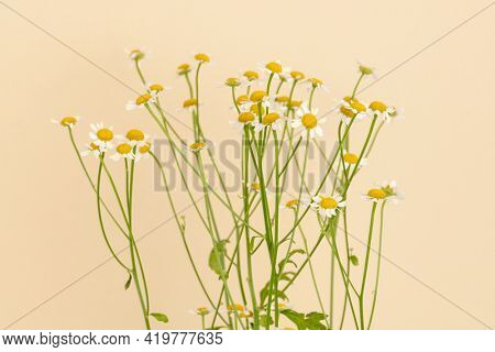 White daisy flowers on beige background