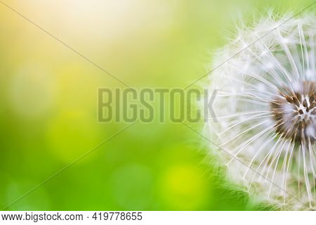 Beautiful Dandelion Flower On Green Bokeh Background In Sunlight. Summer Nature Landscape, Macro And