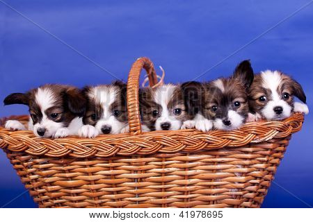 Five Papillon Puppies, (Continental Toy Spaniel) 1 mounth old, in basket, on a blue background poster