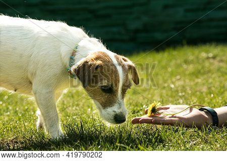 Russell Terrier. The Dog Sniffs A Dandelion Flower Lying On The Mans Hand.