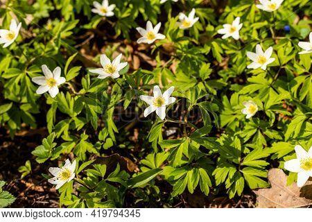Beautiful White Spring Flowers Anemone Nemorosa Growing Among Fallen Oak Leaves. Scenic Delicate Woo