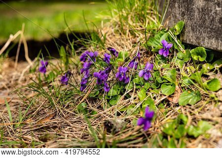 Wood Violets (viola Odorata) Blooming Near Concrete Step. Happy English Violets At Sunny Spring Day.