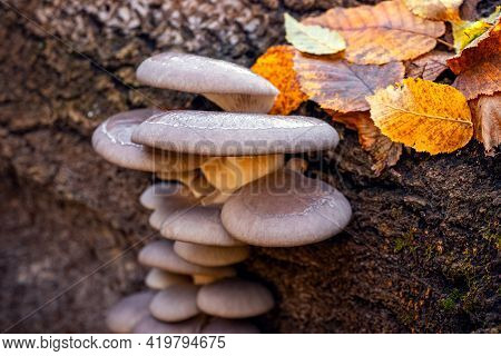 Inedible Mushrooms In The Autumn Forest On A Tree Trunk