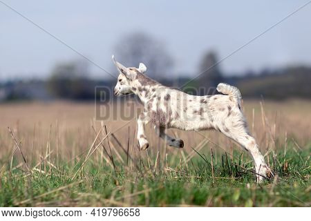 Nice White Goatling With Brown Spots Start Leap In The Meadow