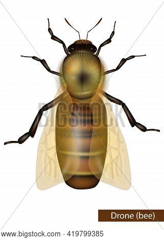 Realistic Drone Bee On White Background. Detailed Western Honey Bee Or European Honey Bee Worker Api