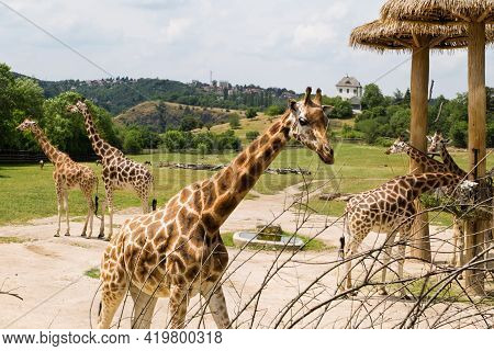 Giraffe's Feeding. Giraffes At An Open Range Zoo. Zoo Animals.