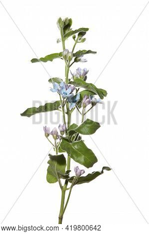 Tall Flower With Small Blue Flowers On White Isolated Background