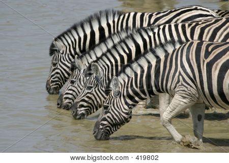 zebras drinking at okaukuejo waterhole, etosha national park, namibia poster