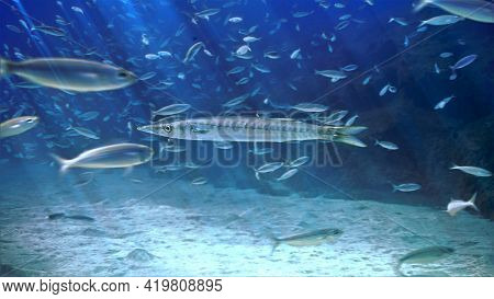 Underwater Photo Of A Barracuda Fish. From A Scuba Dive At The Canary Islands In The Atlantic Ocean