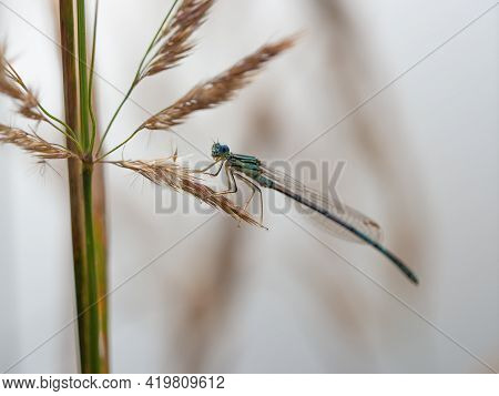 White-legged Damselfly (platycnemis Pennipes) Male Sitting On Dry Grass On Cloudy Summer Day